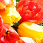 Tulips for Spring 03
