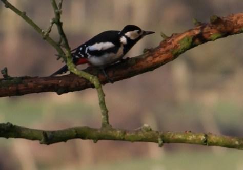 Woodpecker 03