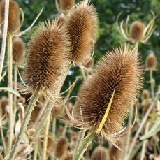 Teasels self seed easily