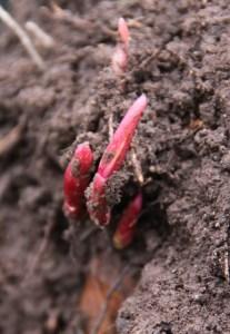 Divide Perennials 02