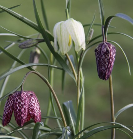 Fritillaria meleagris will naturalise in wettish meadows