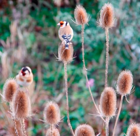 Goldfinch 02