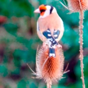 Goldfinch Thumbnail