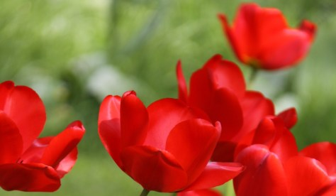 Red Tulips Apeldoorn