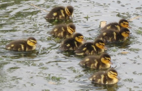 Ducklings Cluster