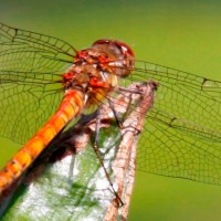 Dragonflies in danger