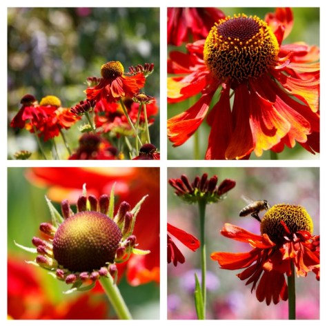 Helenium Collage
