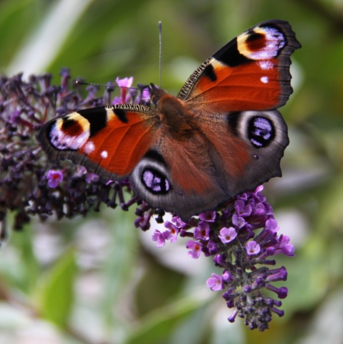 Peacock feeding on Buddleja