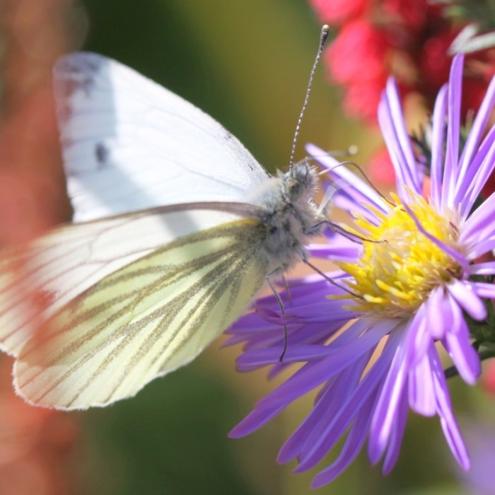 aster & white butterfly