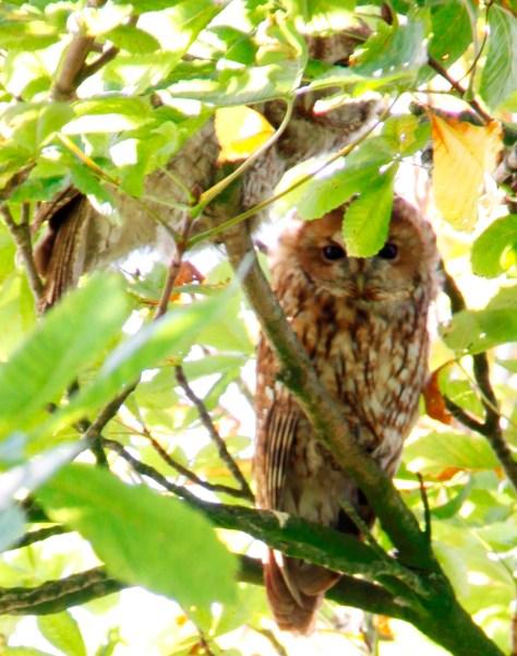 Owls 01