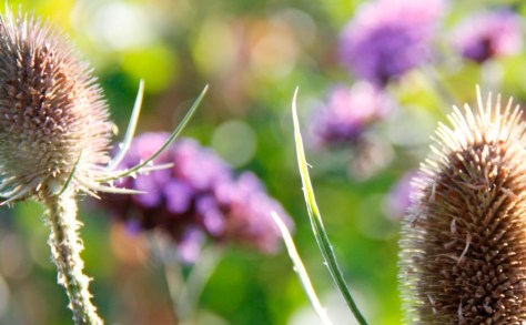 teasels verbena Feature