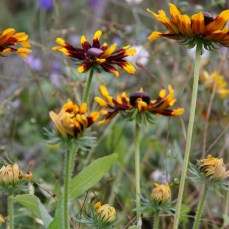annual-wildflowers-october