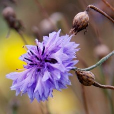 blue-cornflower-october