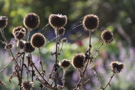 echinops-seedhead