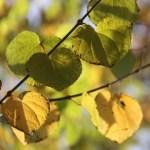 katsura-leaves-thumbnail