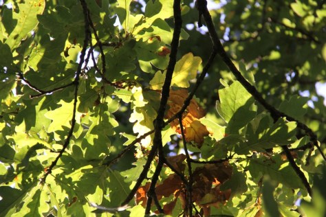 Oak-Leaves