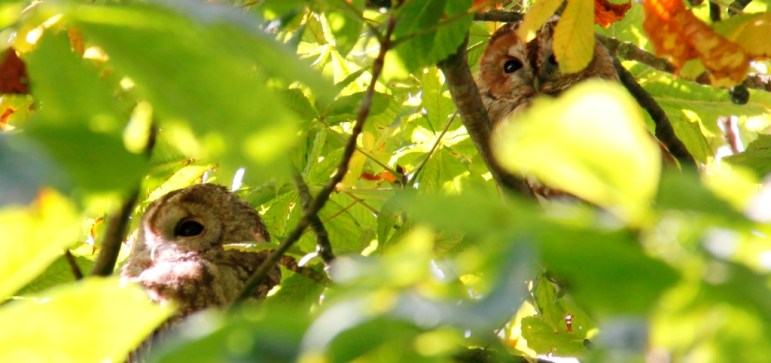 tawny-owls-header
