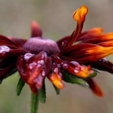 rudbeckia-flower01