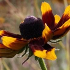 rudbeckia-flower03