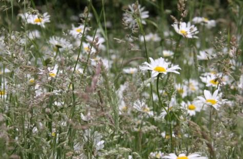 Daisies-&-Grasses