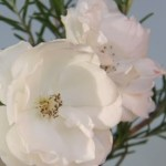 rose-thumbnail