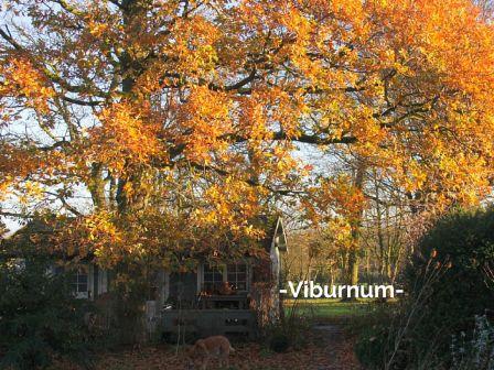 Viburnum jpeg