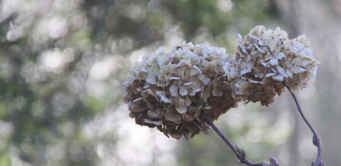 Hydrangea-Head-Feature