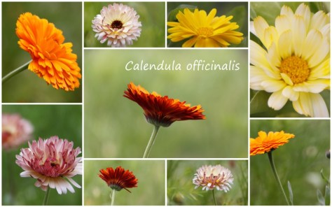 Calendula Collage