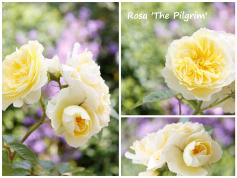Rosa-The-Pilgrim-Collage