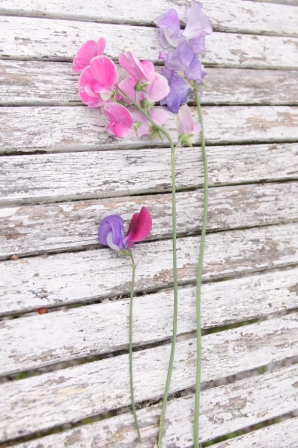 Comparing-Sweet-Peas