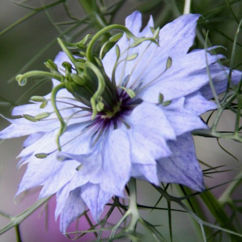 Pale-Blue-Nigella