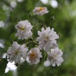 Rosa Pauls Himalayan Musk