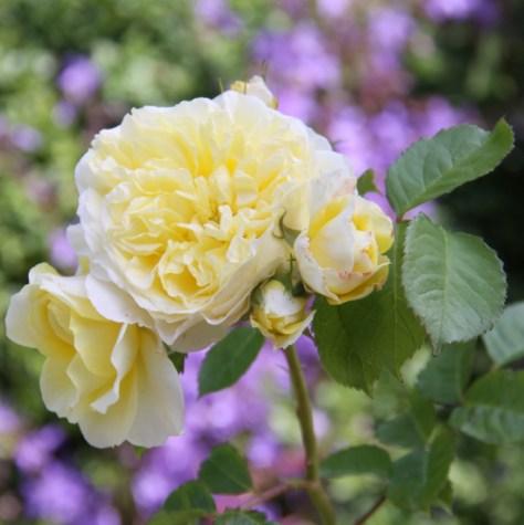 Rosa-The-Pilgrim