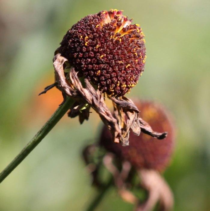 Helenium-Seedheads