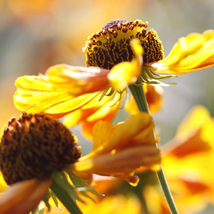 Heleniums-in-Sunlight