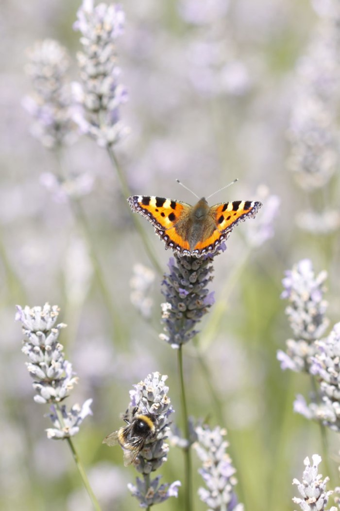 lavender-038