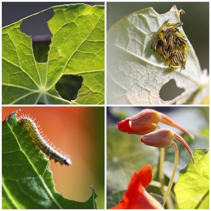 Caterpillars-Eating-Nasturtiums