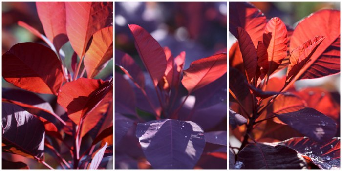 Cotinus-Collage