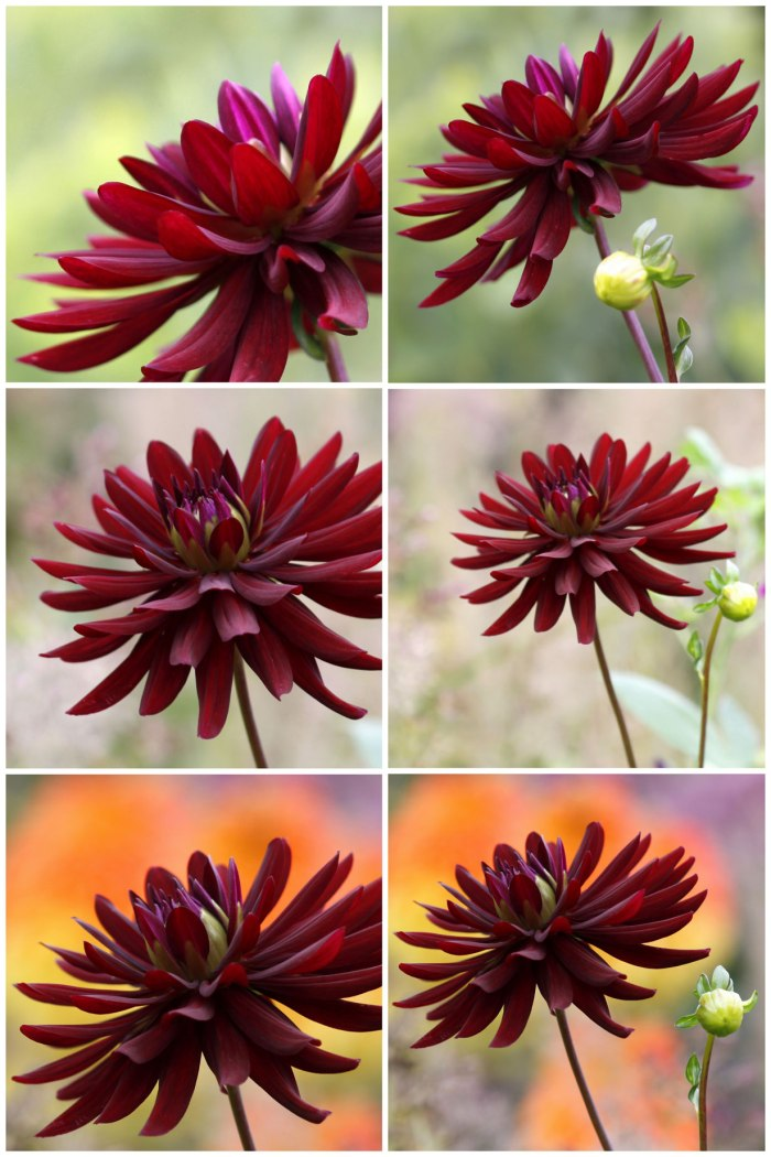 Dahlia-Backgrounds