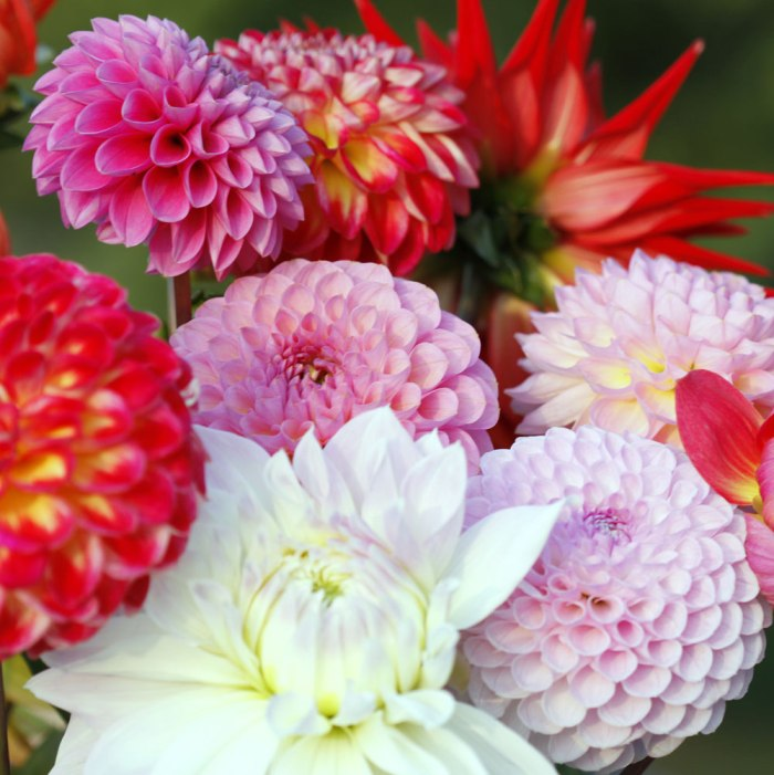 Dahlias-Square