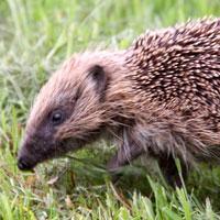 Hedgehog-Thumbnail