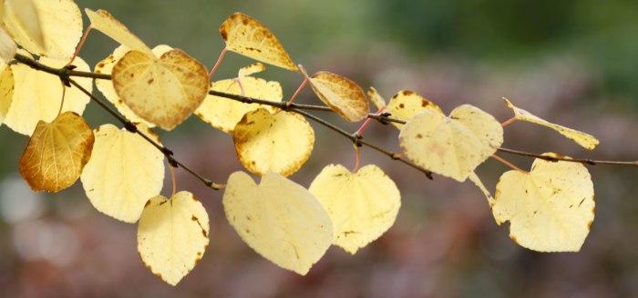 Katsura-yellow-leaves