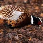 pheasant-thumbnail