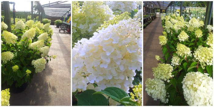 White-Hydrangeas-Collage