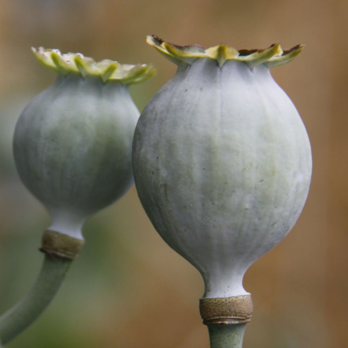 Green-Poppy-Heads