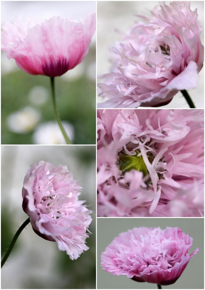 Papaver-collage
