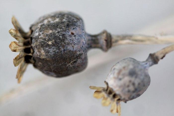 Poppy-Seeedhead