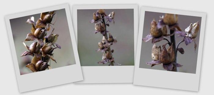 Digitalis-Collage