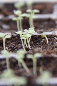 Foxglove-seedlings