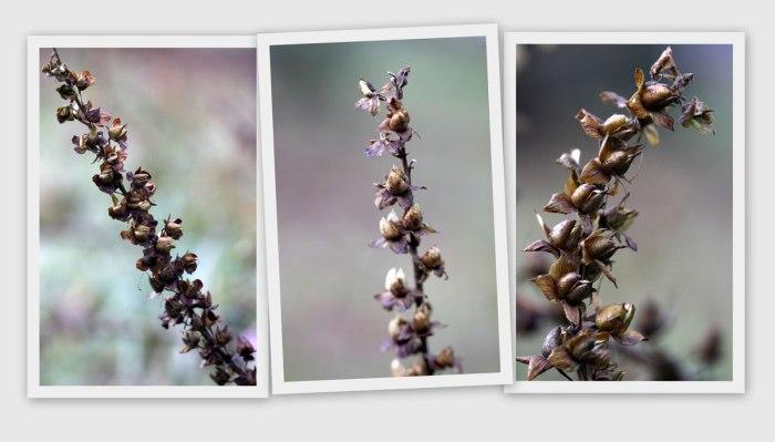 Foxglove-Seedpods